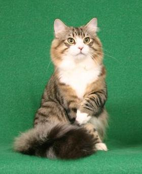 The Norwegian Forest Cat Breed Profile submitted by Debra Baker of Amorino Cattery