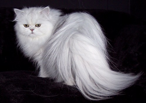 Persian Breed Profile submitted by Linda of CatsCreation