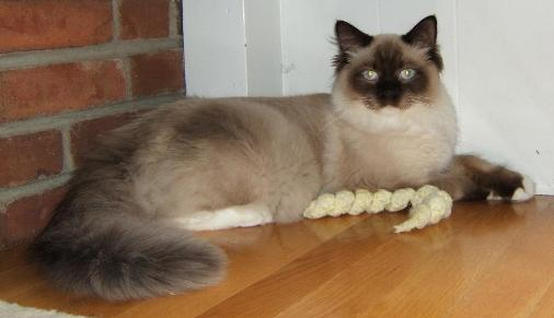 Ragdoll Cat Breed Profile provided by CC Bay Rags - Marilu Souza
