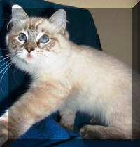 Ragdoll Breeders - Ragdoll Kittens