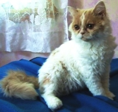 The Selkirk Rex Cat Breed Profile submitted by CC Bay Rags - Marilu Souza - Shown Here is: Angelwings, TICA Northeast Regional Best of Breed Winner for 2007 and the Best Van white and Cream for 2007