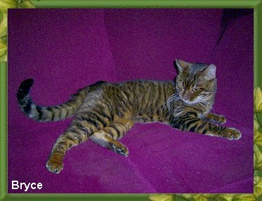 The Toyger Breed Profile submitted by Nunya Zimmer - Xquizit Cats
