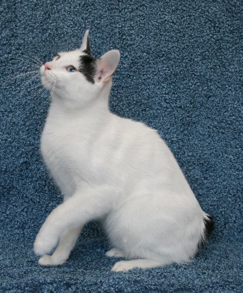 Japanese Bobtail Breed Profile