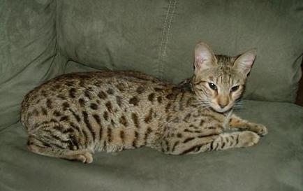 The Savannah Breed Profile submitted by Judith Miller of Kayman Kayz Cattery