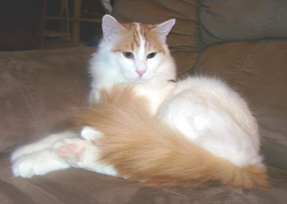 The Turkish Van Breed Profile submitted by Ania Ake - Kinali - Texas Breeder